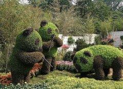 五色草熊貓造型-五色草在植物雕塑中的作